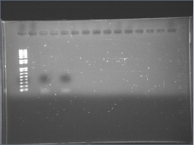 File:2006717 Cyano 3rd PCR gel large.jpg