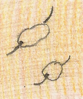 Illustration of Two Chlamydomonas