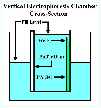 File:Vertical electrophoresis.JPG