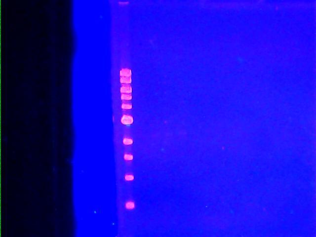 DNA gel 092111 003.jpg