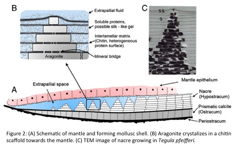 Molluscfigure2.png