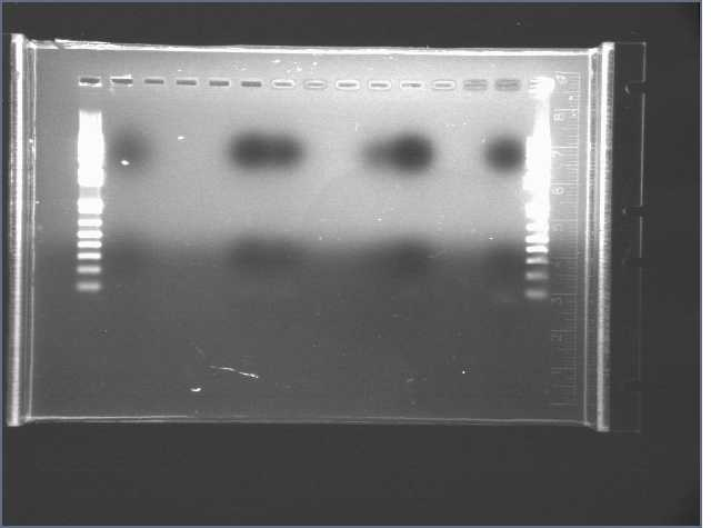 File:PCR2 7706 cyano.jpg