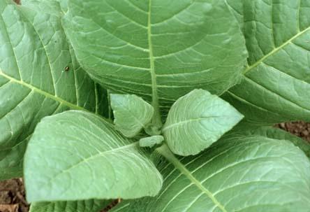 Tobacco leaf.jpg