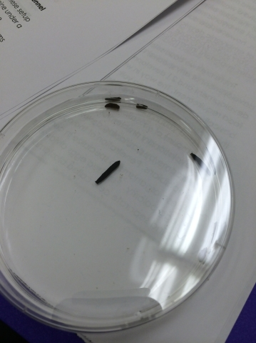 Lab5flatworm.jpg