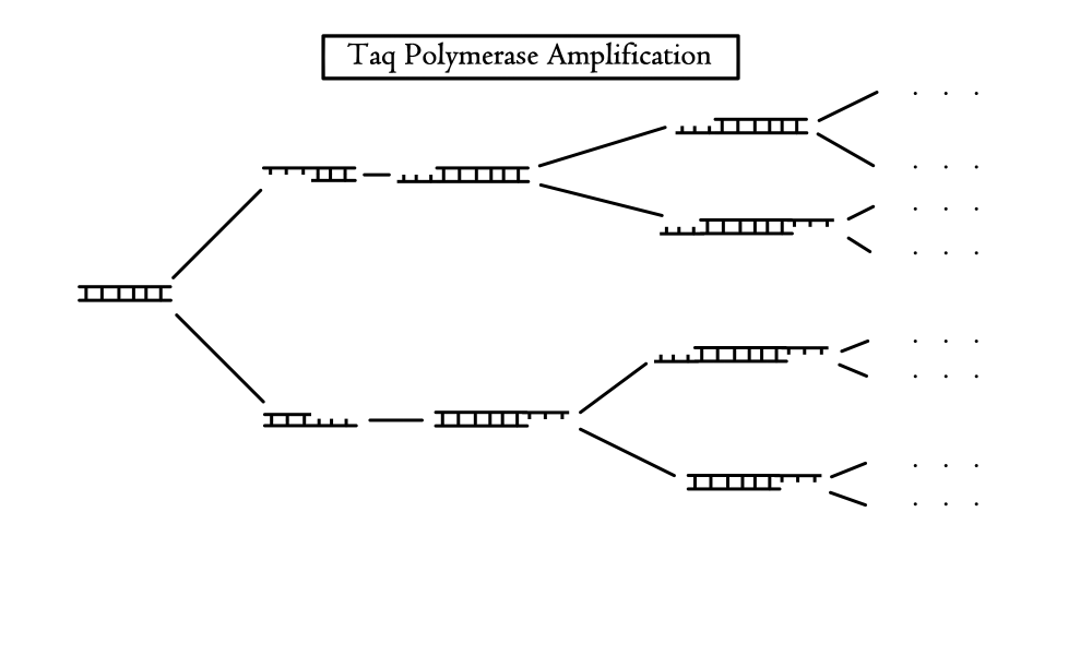 A diagram showing the amplification of DNA through the use of Taq Polymerase.