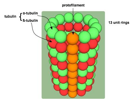 File:MicrotubuleExplained.jpg