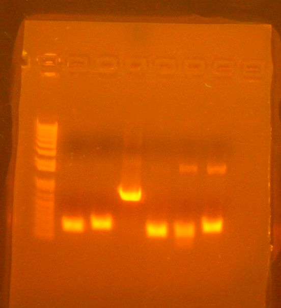 Image:ColPCR basic parts 6-24-10 12 mins.jpg