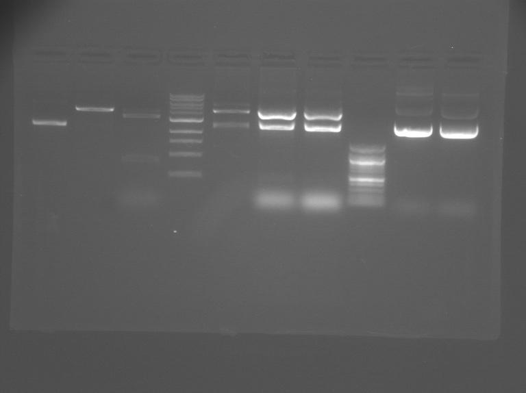 File:S12 M2D5 WF gel-Purple.jpg