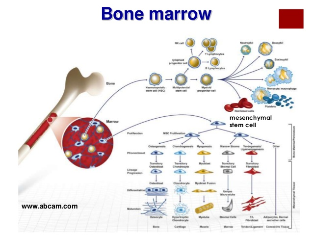 File:Cartilage-repair-using-stem-cell-orthobiologics-13-638.jpg