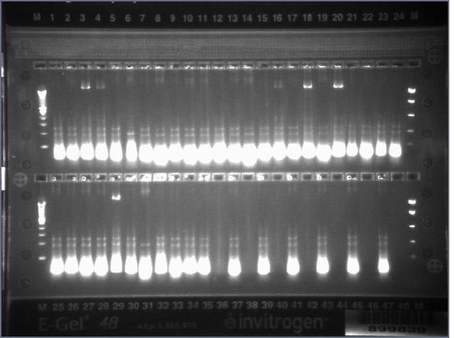 File:2008-12-15 pcr plate.jpg