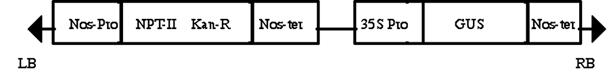 GUS gene on plasmid.png