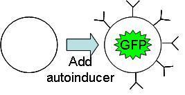 File:Inducible Cellular Adhesion Micro.JPG