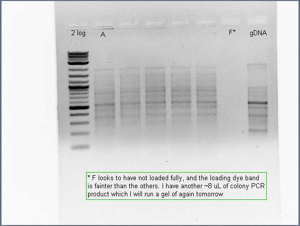 Image:Pflegerlab 2012-07-02 18hr 00min colony PCR with full acsA primers off 6 patches.jpg
