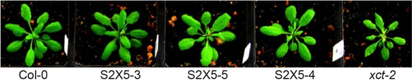 Figure 3.  The fission yeast Xap5 gene rescues multiple phenotypes in xct-2 mutants.  Unpublished, S. Anver, C. Ellison, and S. Harmer.