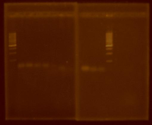 PCRwithTaq Control.JPG