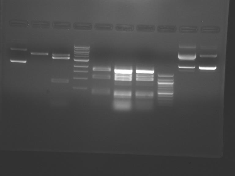 File:S10 M2D5 WF gel-Yellow.jpg