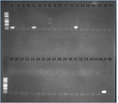 File:10dec09 primer 31 32 34 AV10094 gel1 text.jpg