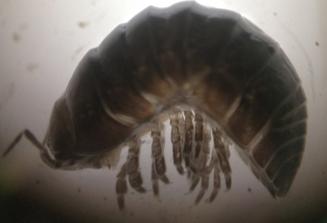 Ganarmadillidiidae.png