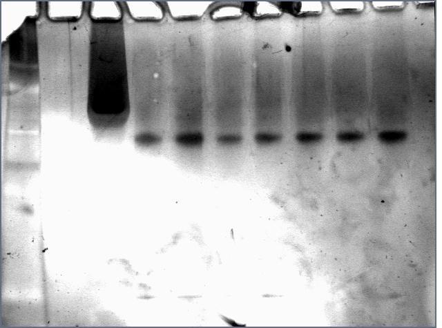 File:Cst810SilverProteinElution.jpg