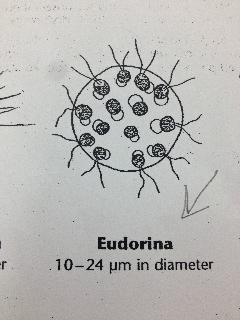 File:Eudorina.jpg