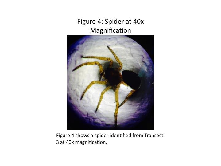 Dagum Spider 40x.jpg