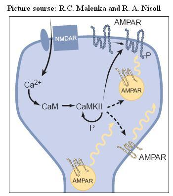 Simplifed model for the expression of LTP. An increase in Ca21 within the dendritic spine binds to calmodulin (CaM) to activate CaMKII, which undergoes autophosphorylation, thus maintaining its activity after Ca21 returns to basal levels. CaMKII phosphorylates AMPA receptors (AMPARs) already present in the synaptic plasma membrane, thus increasing their single-channel conductance. CaMKII is also postulated to inßuence the subsynaptic localization of AMPA receptors such that more AMPA receptors are delivered to the synaptic plasma membrane. The localization of these ÒreserveÓ  AMPA receptors is unclear, and thus they are shown in three different possible locations. Before the triggering of LTP, some synapses may be functionally silent in that they contain no AMPA receptors in the synaptic plasma membrane. Nevertheless, the same expression mechanisms would apply. Adapted from Ref3.