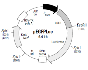 Figure S55. Vector map of pEGFPLuc vector. Derived from Clontech.