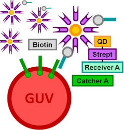 File:BM12 nanosaurs Quantum dot 625-Streptavidin as target species50x s.png
