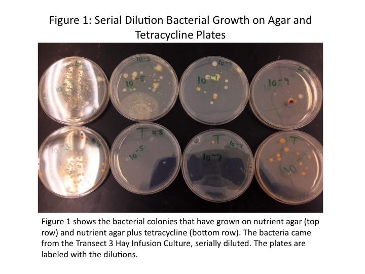Dagum Serial Dilutions Bacterial Growth.jpg