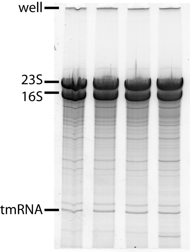 SDM RNA2.jpg