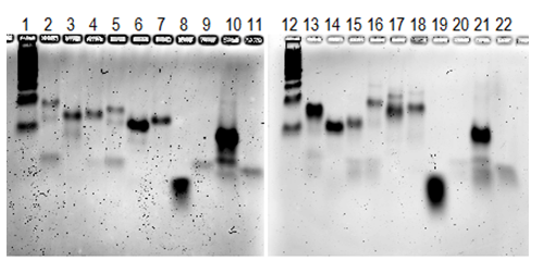 Figure 33. Annealing of all singly modified duplexes. (The contrast of the gel has been increased). 1) 25 bp DNA ladder, 2) W004-GALA, 3) W179-GALA, 4) W181-GALA, 5) W004-Melittin, 6) W179-Melittin, 7) W181-melittin, 8) Control W004, 9) control W179 , 10) Control W181, 11) Control W376, 12) 25 bp DNA ladder, 13) W004-PEG1K, 14) W179- PEG1K, 15) W181- PEG1K, 16) W004-PEG5K, 17) W179-PEG5K, 18) W181-PEG5K, 19) Control W004, 20) Control W179, 21) Control W181, 22) Control W376.