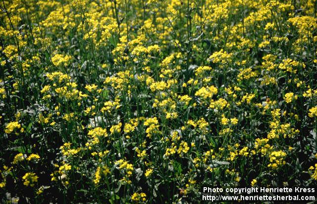 File:Brassica rapa.jpg