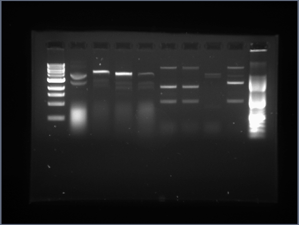 7.1 Plasmid Digests with E,P & X,S.jpg