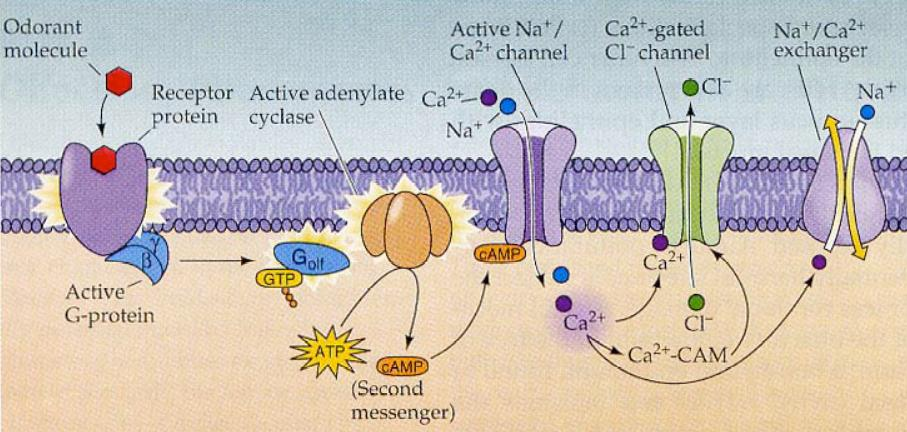 action potential and receptor olfactory receptor An olfactory receptor neuron (orn), also called an olfactory sensory neuron (osn), is a transduction cell within the olfactory system action potential taste receptor.