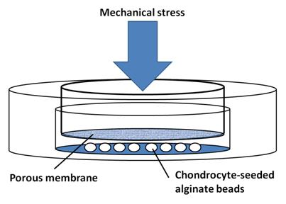 Figure 1. Apparatus to test the effects of mechanical stress on chondrocytes