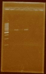 Dramirez plasmidextraction J04500 B0015.jpg