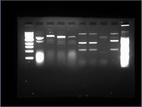 File:UIUC 7.1 Plasmid Digests with E,P & X,S (4-3.0et).jpg