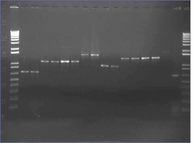 8-24 PCR gel PT.jpg