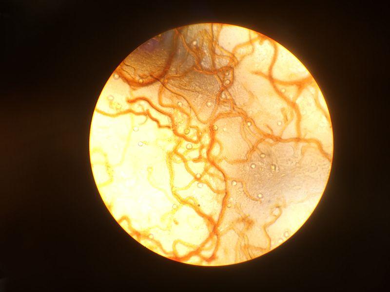 File:Euglena.png