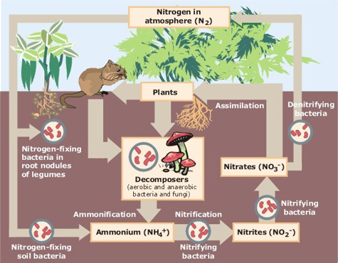 Image:Nitrogen_cycle.jpg