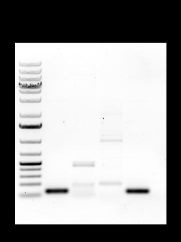2015-10-29 HA1 ZeoR CFP HA2 phusion PCR analyzed.png