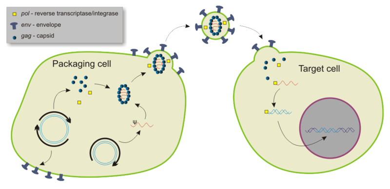 The cycle of viral packaging, infection & integration