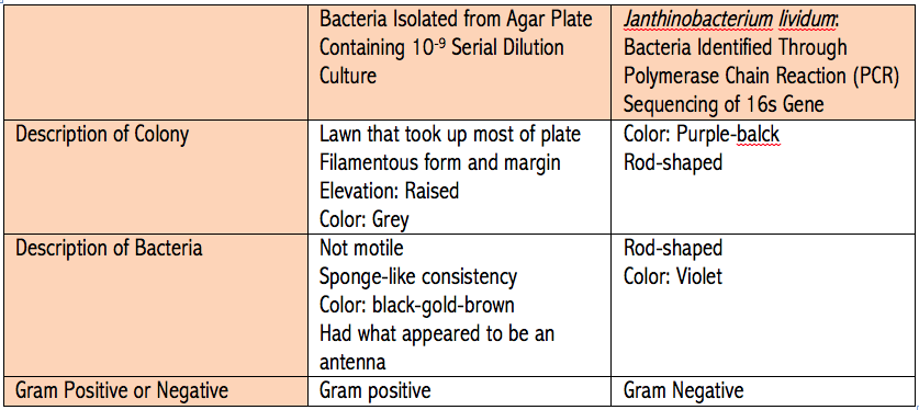The above table organizes observations about the second bacterium observed from Transect 5 and the bacterium Janthinobacterium lividum. The information about Janthinobacterium lividum was gathered from reference #2 in the references.