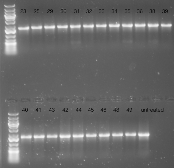 File:14.12.18 gel of many PCRs.png