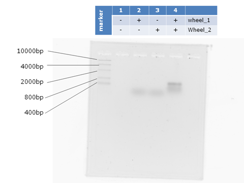 File:480px electrophoresis of T-motif improved-Todai.png