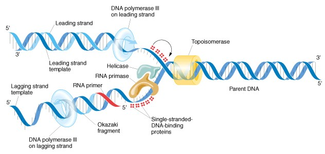 Summary: This is an image of how RNA primers bind to the cancer DNA template during the replication process. [1]