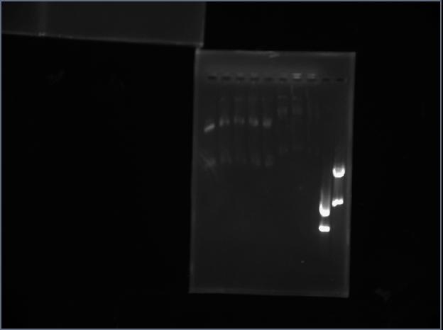 File:PCR Digest 4-22.jpeg