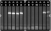 10-11 Colony PCR 1-12.jpg