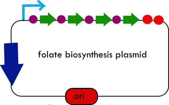 Final folate biosynthesis plasmid