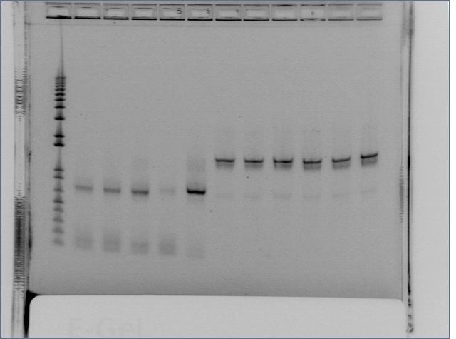 File:Fusion PCR - works EnvZ.jpg